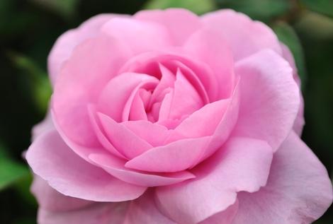 Rose_06