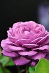 Rose_08