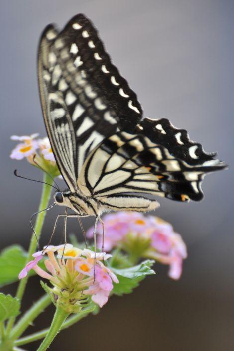 Swallowtail_butterfly