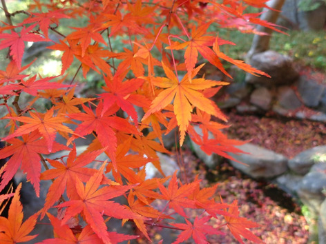Autumnal_leaves_tonogayato_garden_4
