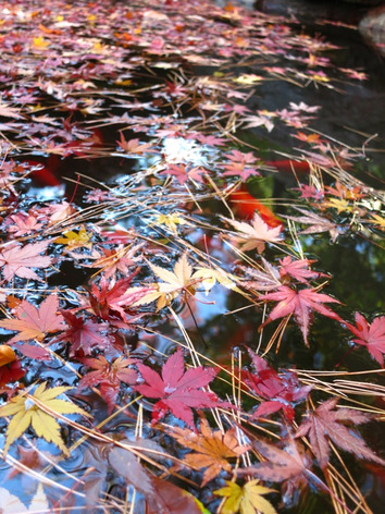 Autumnal_leaves_tonogayato_garden_8