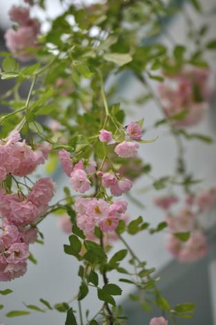 Rosesandgardeningshow2012_06