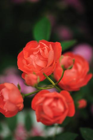 Rosesandgardeningshow2012_10