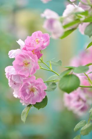Rosesandgardeningshow2012_29