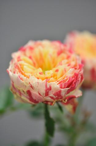 Rosesandgardeningshow2012_33
