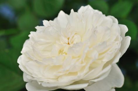 Rosesandgardeningshow2012_43