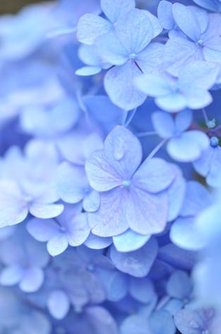 Hydrangea_16