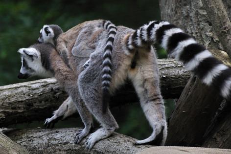 Lemur_catta_02