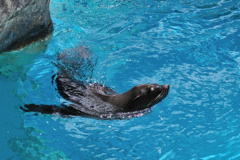 Brown_fur_seal__01