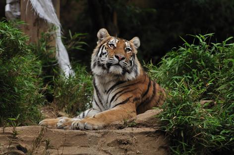 Siberian_tiger_02