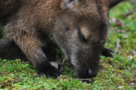 Wallaby_02