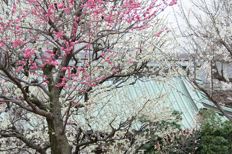 Yushima_tenjin_plum_blossom_fest_13