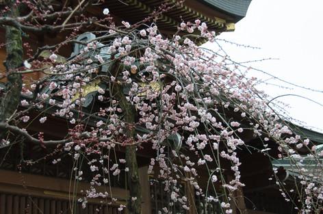 Yushima_tenjin_plum_blossom_fest_15