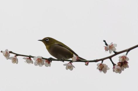 Yushima_tenjin_plum_blossom_fest_18