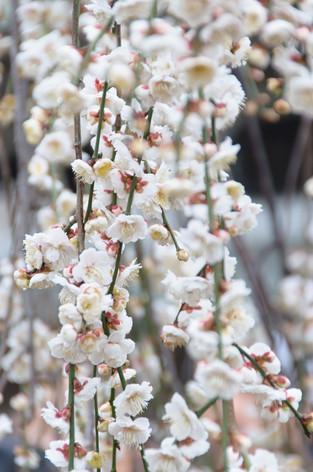 Yushima_tenjin_plum_blossom_fest_19