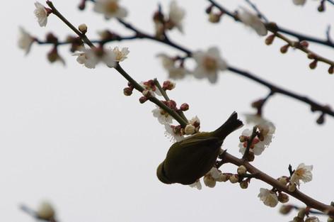 Yushima_tenjin_plum_blossom_fest_22