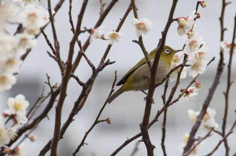 Yushima_tenjin_plum_blossom_fest_23