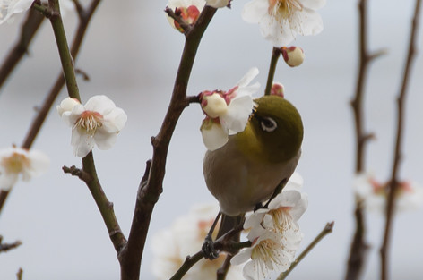 Yushima_tenjin_plum_blossom_fest_24
