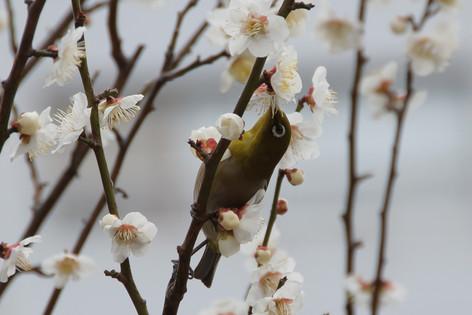 Yushima_tenjin_plum_blossom_fest_25