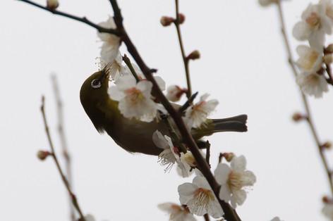 Yushima_tenjin_plum_blossom_fest_26