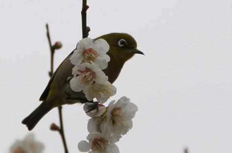 Yushima_tenjin_plum_blossom_fest_27