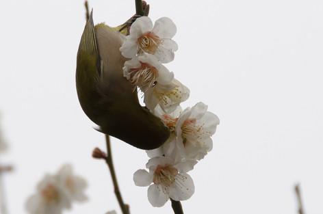 Yushima_tenjin_plum_blossom_fest_28