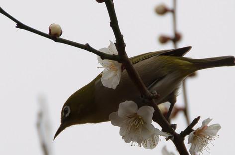 Yushima_tenjin_plum_blossom_fest_29