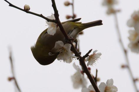 Yushima_tenjin_plum_blossom_fest_30