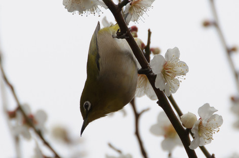 Yushima_tenjin_plum_blossom_fest_31