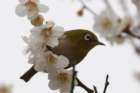 Yushima_tenjin_plum_blossom_fest_32