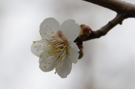 Yushima_tenjin_plum_blossom_fest_36