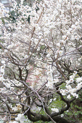 Yushima_tenjin_plum_blossom_fest_37