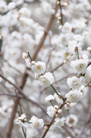 Yushima_tenjin_plum_blossom_fest_38