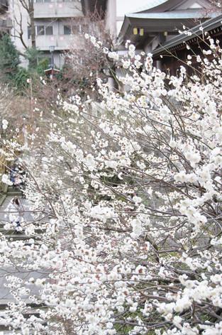 Yushima_tenjin_plum_blossom_fest_39