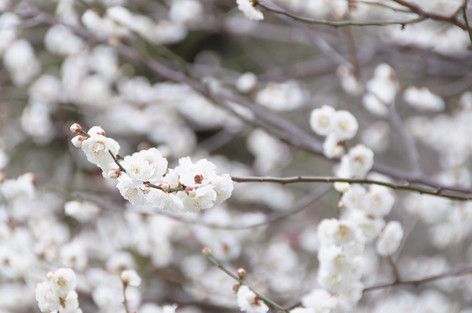 Yushima_tenjin_plum_blossom_fest_40