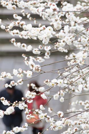 Yushima_tenjin_plum_blossom_fest_41