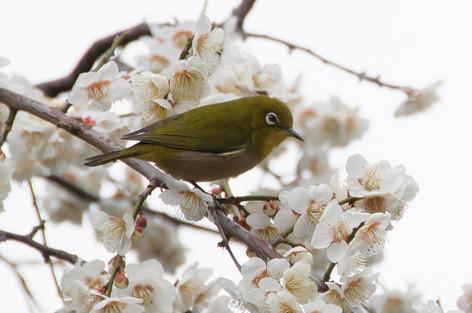 Yushima_tenjin_plum_blossom_fest_42