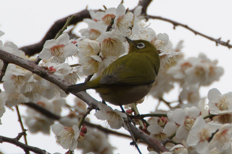 Yushima_tenjin_plum_blossom_fest_43