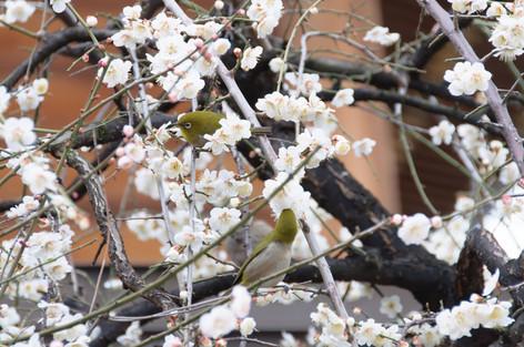 Yushima_tenjin_plum_blossom_fest_44