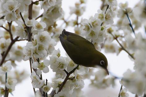 Yushima_tenjin_plum_blossom_fest_46