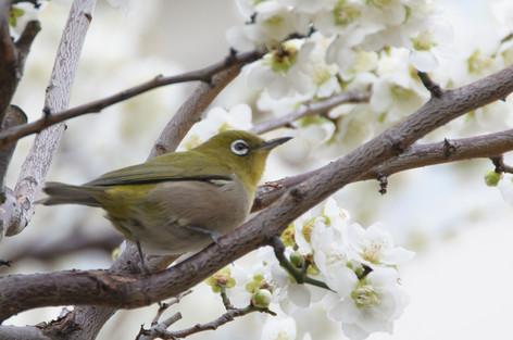 Yushima_tenjin_plum_blossom_fest_48