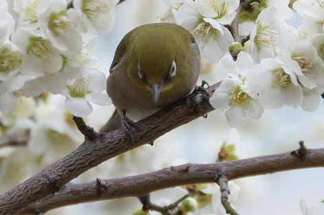 Yushima_tenjin_plum_blossom_fest_49