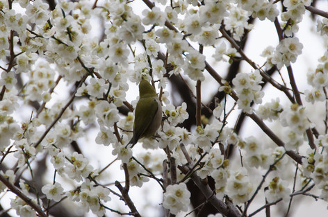 Yushima_tenjin_plum_blossom_fest_50
