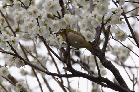 Yushima_tenjin_plum_blossom_fest_51