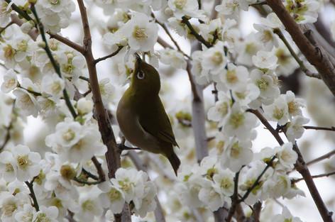Yushima_tenjin_plum_blossom_fest_52
