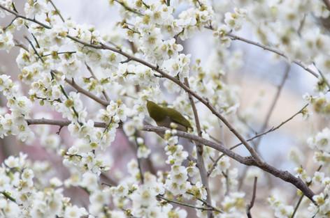 Yushima_tenjin_plum_blossom_fest_53
