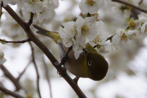Yushima_tenjin_plum_blossom_fest_54