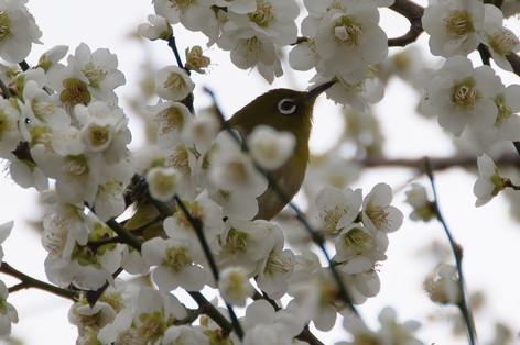 Yushima_tenjin_plum_blossom_fest_55