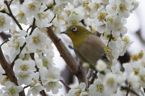 Yushima_tenjin_plum_blossom_fest_56