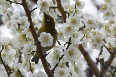 Yushima_tenjin_plum_blossom_fest_57